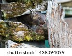 Small photo of American marten showing teeth in between rails on a ranch fence