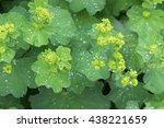 Small photo of Closeup photo of Lady's mantle leaves and yellow flower buds with drops of water (Alchemilla vulgaris) during summer in Austria, Europe