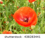 Poppy - herbaceous plant with long stems and large red flowers, seeds are used in food.