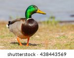 Male Mallard In Profile