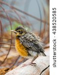 Baby American Robin Perched On...