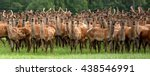 A Large Herd Of Deer Staring A...