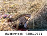a close view of a collared... | Shutterstock . vector #438610831