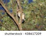 Small photo of Amami Thrush (Zoothera dauma major) in Amami Island, Japan