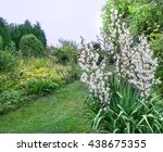 Yucca Blooms In The Garden