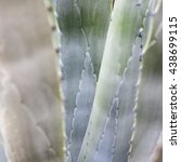 Small photo of Dragon tree's leaves with purple tune (Agave attenuata)