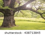toned image of 500 year old oak ... | Shutterstock . vector #438713845