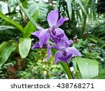 Small photo of Acacallis cyanea, orchid. Orchidaceae family