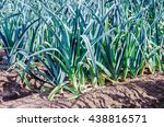 Small photo of Leek or Allium ampeloprasum var. porrum plants from close growing in rows on a sunny day in the fall season.