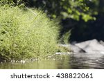 horsetail thicket near the... | Shutterstock . vector #438822061