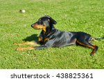 Small photo of German Pinscher walks on the lawn