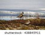 Small photo of American Golden Plover in spring