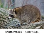 raccoon  procyon lotor  | Shutterstock . vector #43894831