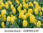 Tulips Flower Beautiful In...