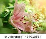 Flower Lily In Flower Garden...