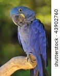 Portrait Blue Hyacinth Macaw ...