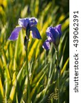 blue and purple iris flowers... | Shutterstock . vector #439062391