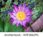 fresh lotus after rain   Shutterstock . vector #439186291