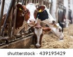 cows on farm. black and white... | Shutterstock . vector #439195429