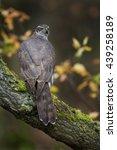Small photo of Goshawk Accipiter gentilis