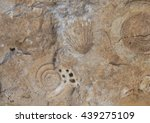 Ammonites And Bivalves.close U...