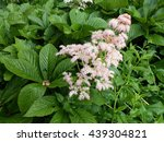 Rodgersia Podophylla  Plant ...