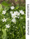 Small photo of Stellaria holostea, the addersmeat, greater stitchwort, group of perennial flowers in bloom