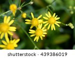 Small photo of small yellow flowers of a composite plant