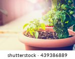 Green Tomatoes In Flowers Pot...