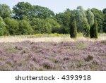 Landscape With Purple Heath