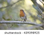 robin red breast  erithacus... | Shutterstock . vector #439398925
