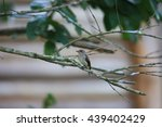 Small photo of African Dusky Flycatcher (Muscicapa adusta) in Kibale National Park, Uganda