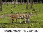 Attentive Deer