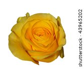 Yellow Rose. Isolated On White...
