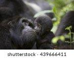 A Baby Mountain Wild Gorilla...