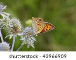 Small photo of day butterfly (Heodes ssp.) rest in the flower