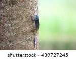 Small photo of Blue-headed Tree Agama (Acanthocerus atricollis) in Kibale National Park, Uganda