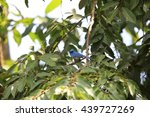 Small photo of African Blue flycatcher (Elminia longicauda) in Kibale National Park,Uganda