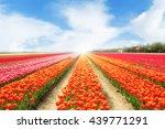 Landscape Of Netherlands Tulip...