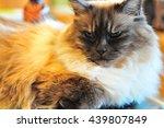 blue eyed cat | Shutterstock . vector #439807849