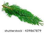 arborvitae leaves on a white... | Shutterstock . vector #439867879