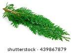 arborvitae leaves on a white... | Shutterstock . vector #439867879