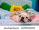 lovely french bulldog | Shutterstock . vector #439943035