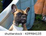 cute golden french bulldog... | Shutterstock . vector #439984135