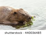 Beaver In The Water Eating...