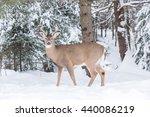 A Male Buck Deer In A Winter...