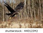 Juvenile Bald Eagle In Flight.