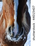 Horse Snout In The Winter