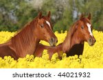 Spring portrait of two sorrel horses on colza field - stock photo