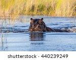 Hippo  Hippopotamus Amphibius ...
